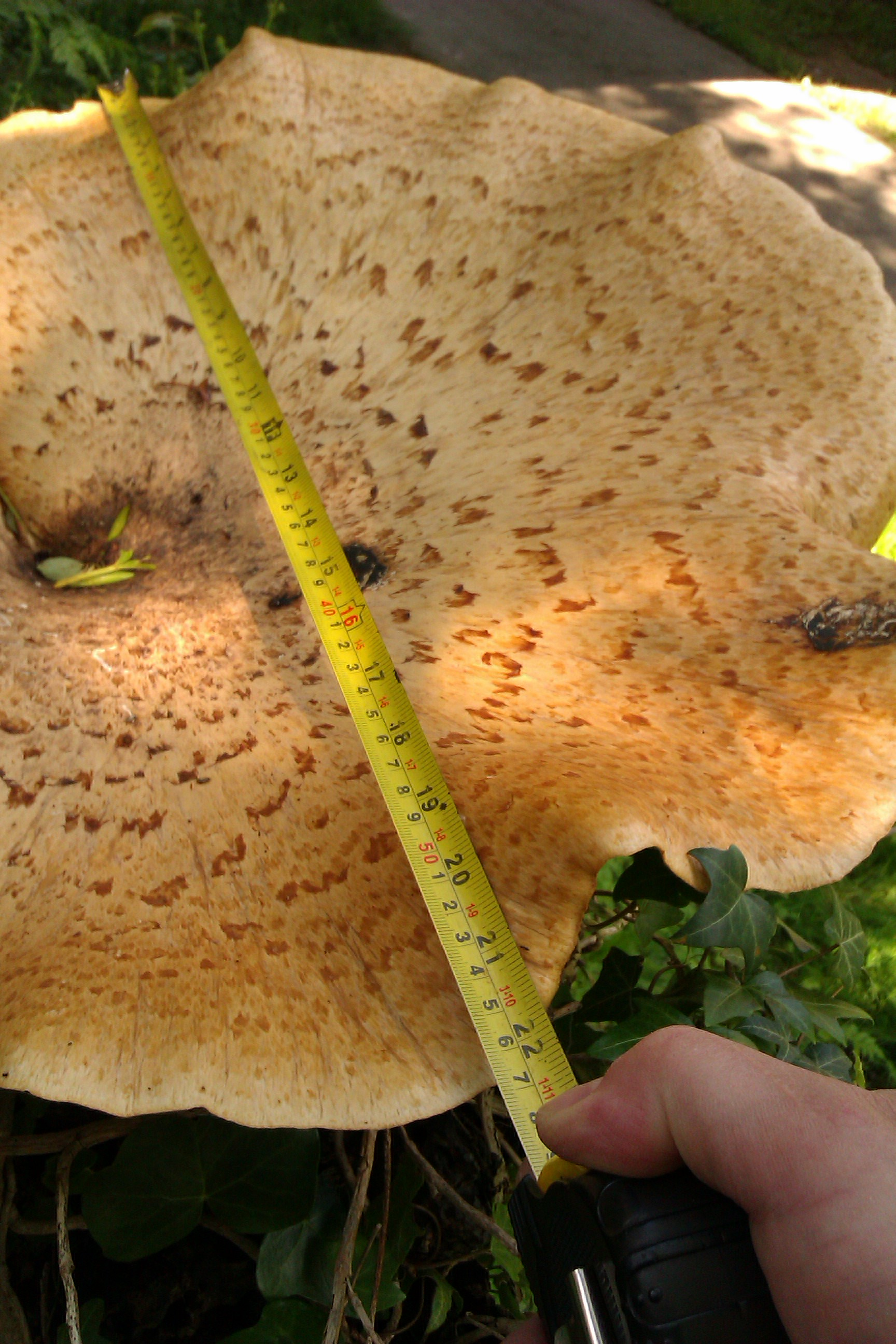 Edible Mushroom Identification Pictures http://www.wildmushroomsonline.co.uk/forager-details/OTQ5/1
